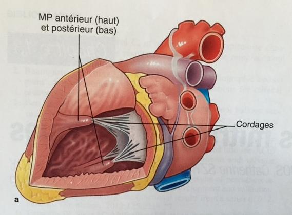 anatomie-du-coeur-2